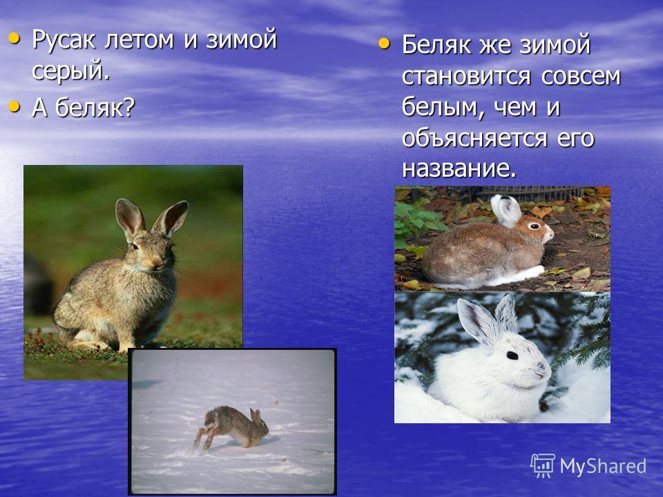 Русак летом и зимой серый. Русак летом и зимой серый. А беляк? А беляк? Беляк же зимой становится совсем белым, чем и объясняется его название. Беляк же зимой становится совсем белым, чем и объясняется его название.