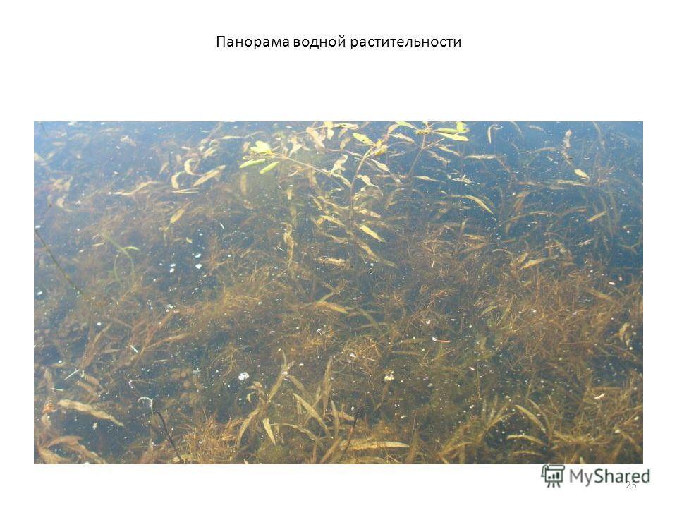 23 Панорама водной растительности
