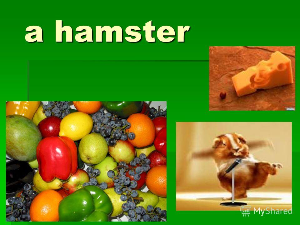 a hamster a hamster