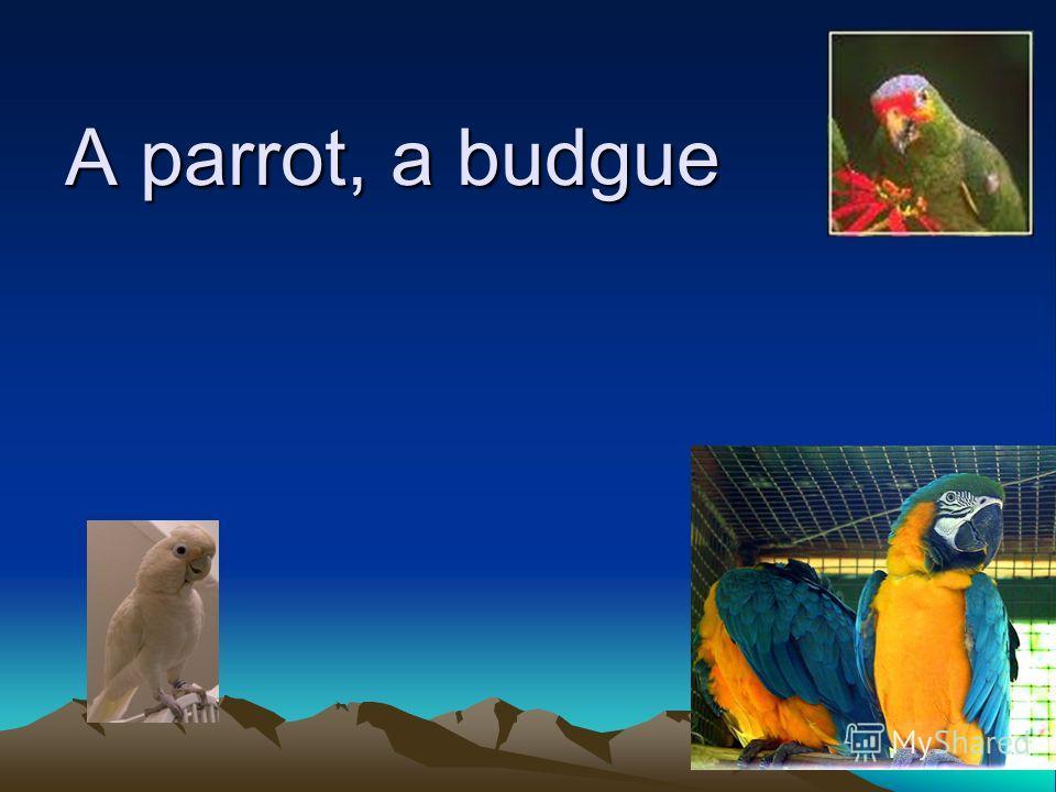 A parrot, a budgue
