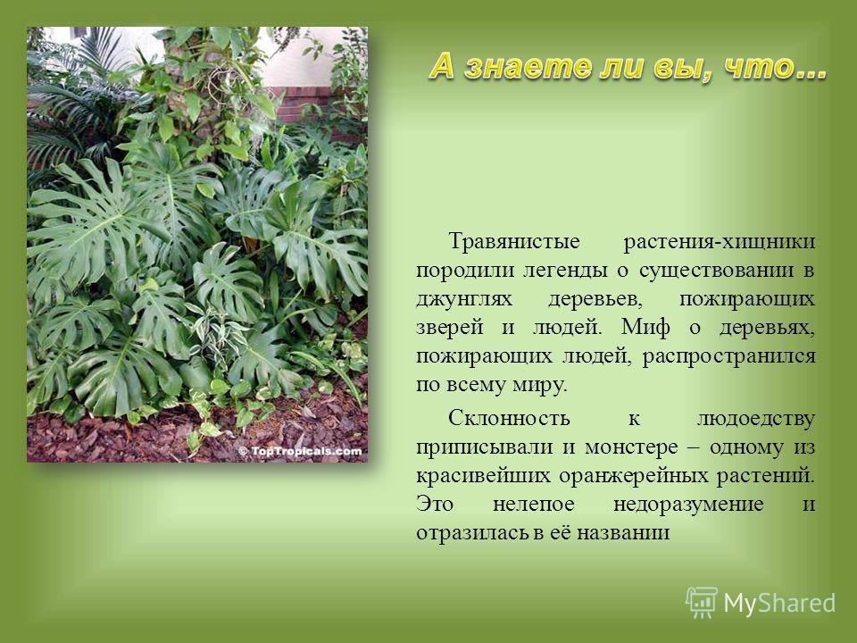 Травянистые растения-хищники породили легенды о существовании в джунглях деревьев, пожирающих зверей и людей. Миф о деревьях, пожирающих людей, распространился по всему миру. Склонность к людоедству приписывали и монстере – одному из красивейших оран