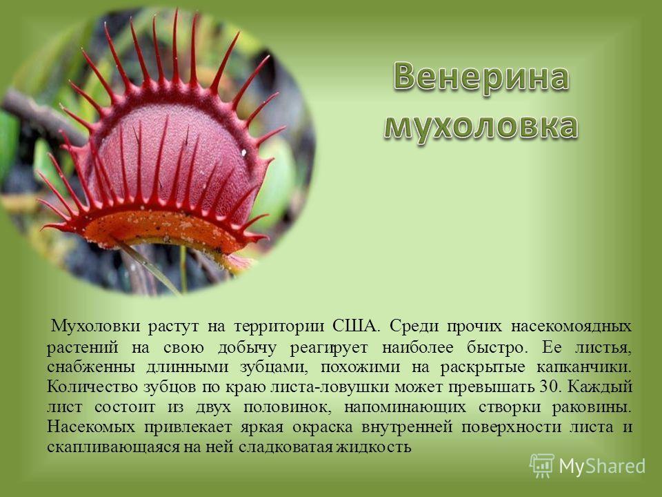 Мухоловки растут на территории США. Среди прочих насекомоядных растений на свою добычу реагирует наиболее быстро. Ее листья, снабженны длинными зубцами, похожими на раскрытые капканчики. Количество зубцов по краю листа-ловушки может превышать 30. Каж