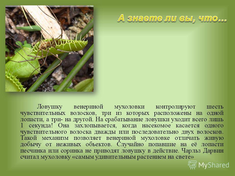 Ловушку венериной мухоловки контролируют шесть чувствительных волосков, три из которых расположены на одной лопасти, а три- на другой. На срабатывание ловушки уходит всего лишь 1 секунда! Она захлопывается, когда насекомое касается одного чувствитель