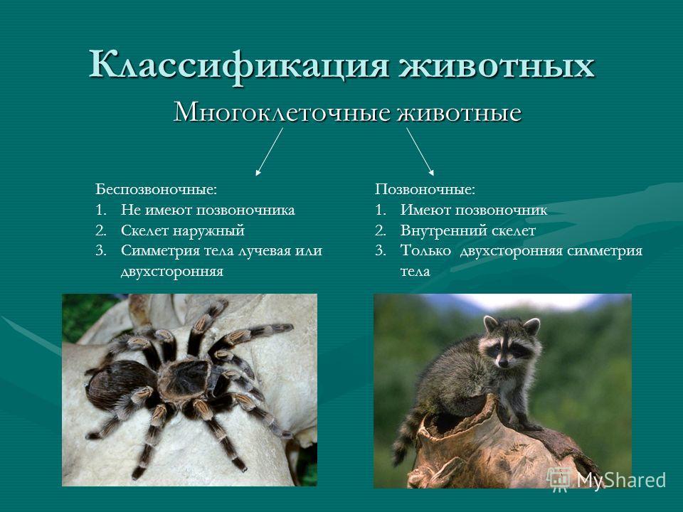 Классификация животных Многоклеточные животные Позвоночные: 1.Имеют позвоночник 2.Внутренний скелет 3.Только двухсторонняя симметрия тела Беспозвоночные: 1.Не имеют позвоночника 2.Скелет наружный 3.Симметрия тела лучевая или двухсторонняя
