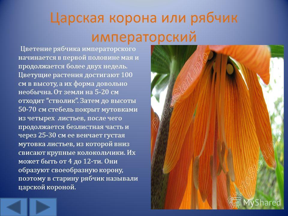 Царская корона или рябчик императорский Цветение рябчика императорского начинается в первой половине мая и продолжается более двух недель. Цветущие растения достигают 100 см в высоту, а их форма довольно необычна. От земли на 5-20 см отходит стволик.