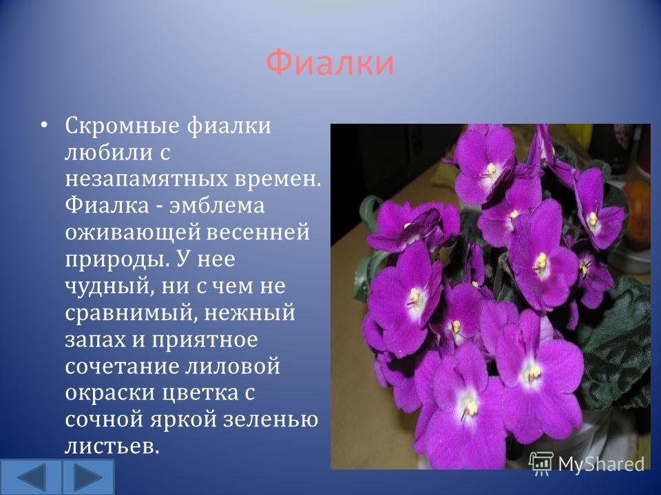 Фиалки Скромные фиалки любили с незапамятных времен. Фиалка - эмблема оживающей весенней природы. У нее чудный, ни с чем не сравнимый, нежный запах и приятное сочетание лиловой окраски цветка с сочной яркой зеленью листьев.