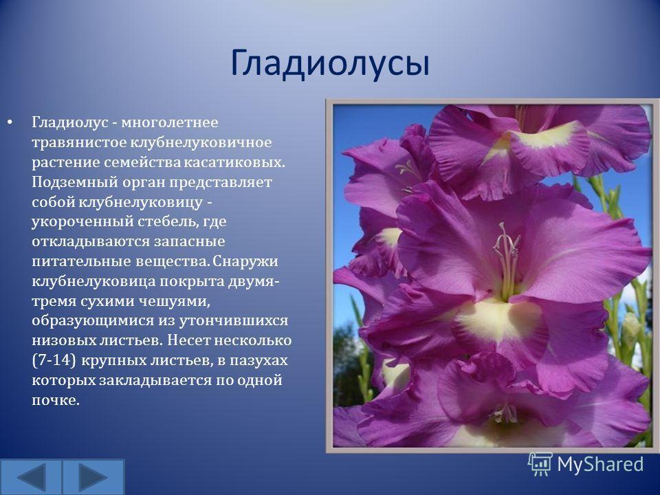Гладиолусы Гладиолус - многолетнее травянистое клубнелуковичное растение семейства касатиковых. Подземный орган представляет собой клубнелуковицу - укороченный стебель, где откладываются запасные питательные вещества. Снаружи клубнелуковица покрыта д