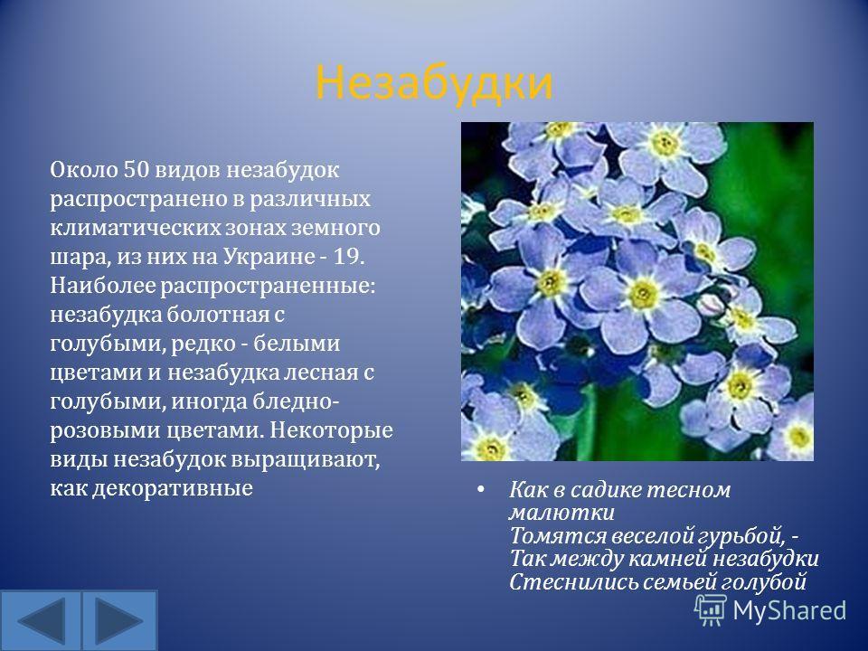 Незабудки Как в садике тесном малютки Томятся веселой гурьбой, - Так между камней незабудки Стеснились семьей голубой Около 50 видов незабудок распространено в различных климатических зонах земного шара, из них на Украине - 19. Наиболее распространен