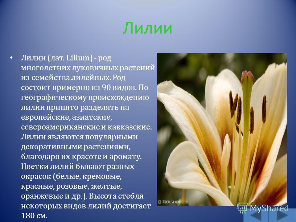 Лилии Лилии ( лат. Lilium) - род многолетних луковичных растений из семейства лилейных. Род состоит примерно из 90 видов. По географическому происхождению лилии принято разделять на европейские, азиатские, североамериканские и кавказские. Лилии являю