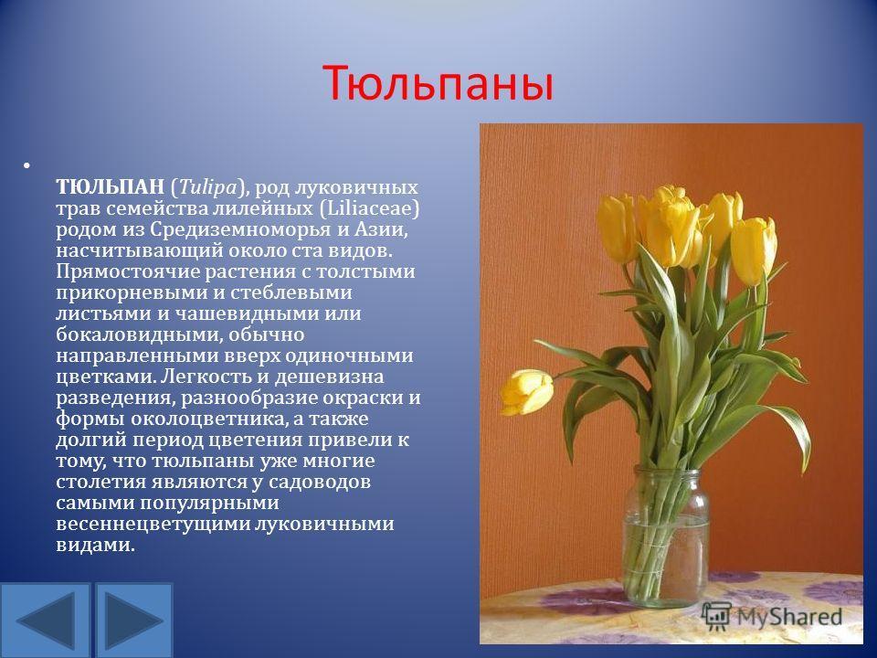 Тюльпаны ТЮЛЬПАН (Tulipa), род луковичных трав семейства лилейных (Liliaceae) родом из Средиземноморья и Азии, насчитывающий около ста видов. Прямостоячие растения с толстыми прикорневыми и стеблевыми листьями и чашевидными или бокаловидными, обычно