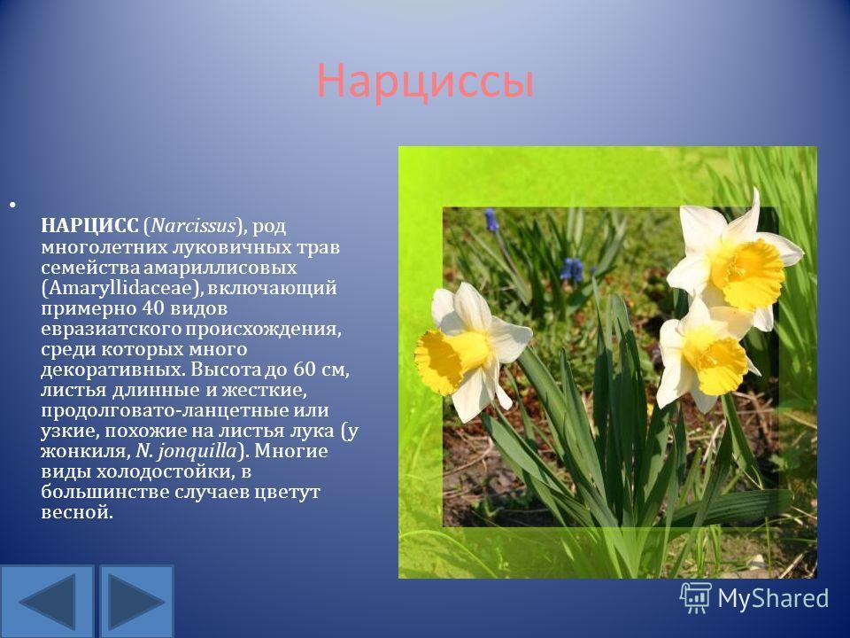 Нарциссы НАРЦИСС (Narcissus), род многолетних луковичных трав семейства амариллисовых (Amaryllidaceae), включающий примерно 40 видов евразиатского происхождения, среди которых много декоративных. Высота до 60 см, листья длинные и жесткие, продолговат