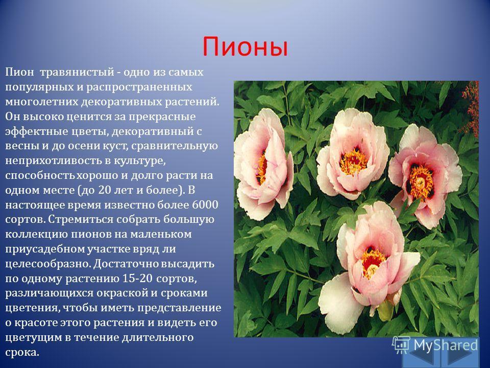 Пионы Пион травянистый - одно из самых популярных и распространенных многолетних декоративных растений. Он высоко ценится за прекрасные эффектные цветы, декоративный с весны и до осени куст, сравнительную неприхотливость в культуре, способность хорош