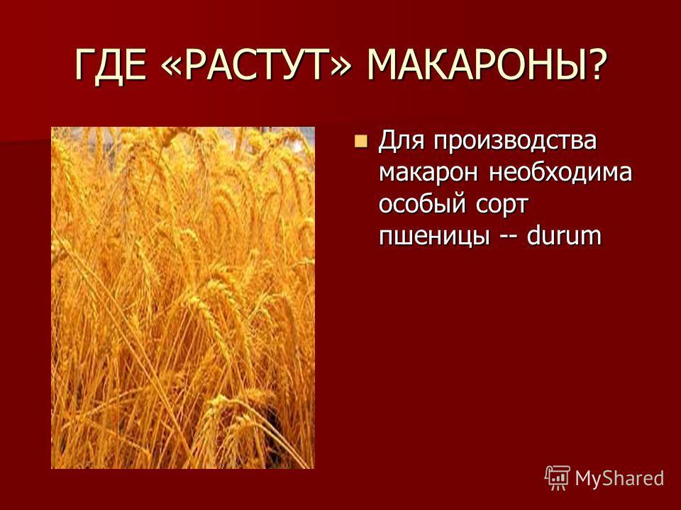 ГДЕ «РАСТУТ» МАКАРОНЫ? Для производства макарон необходима особый сорт пшеницы -- durum Для производства макарон необходима особый сорт пшеницы -- durum