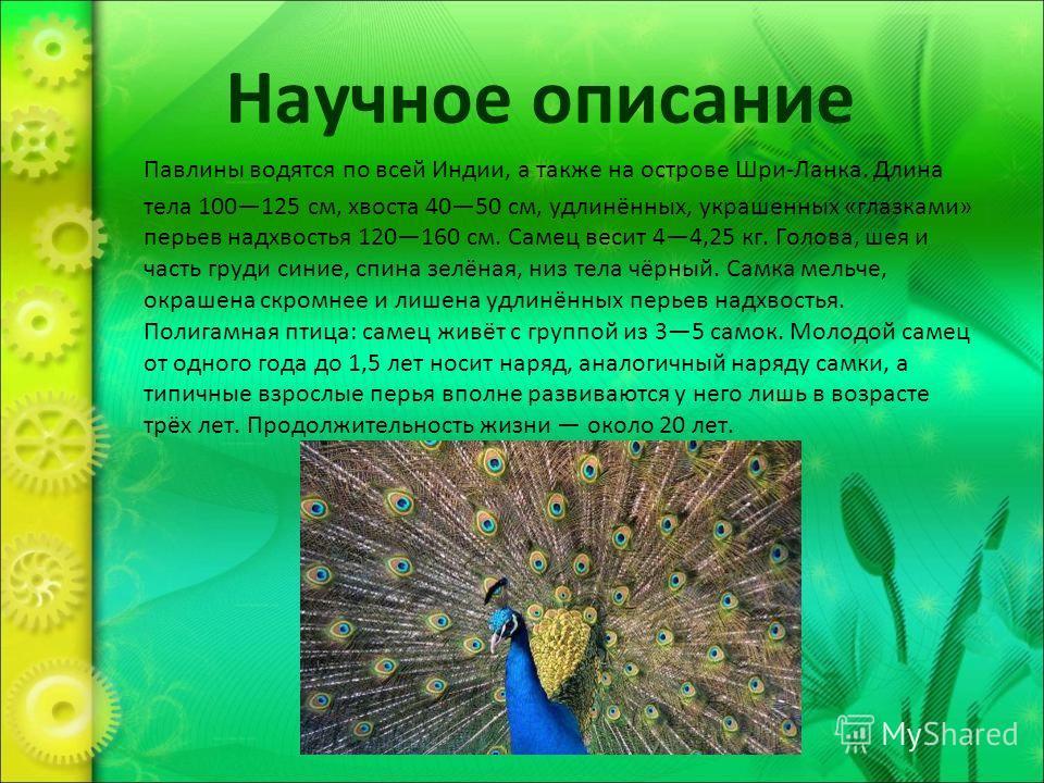 Научное описание Павлины водятся по всей Индии, а также на острове Шри-Ланка. Длина тела 100125 см, хвоста 4050 см, удлинённых, украшенных «глазками» перьев надхвостья 120160 см. Самец весит 44,25 кг. Голова, шея и часть груди синие, спина зелёная, н