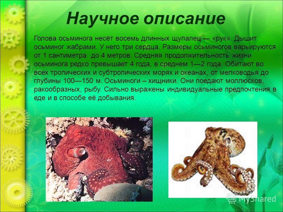 Научное описание Голова осьминога несёт восемь длинных щупалец «рук». Дышит осьминог жабрами. У него три сердца. Размеры осьминогов варьируются от 1 сантиметра до 4 метров. Средняя продолжительность жизни осьминога редко превышает 4 года, в среднем 1