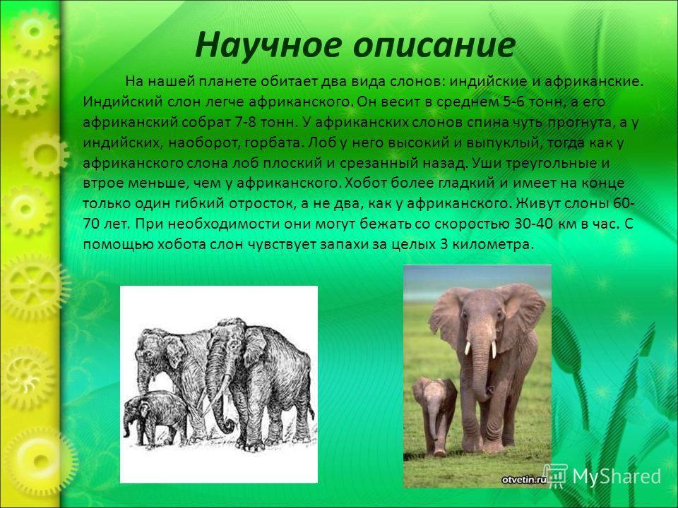 Научное описание На нашей планете обитает два вида слонов: индийские и африканские. Индийский слон легче африканского. Он весит в среднем 5-6 тонн, а его африканский собрат 7-8 тонн. У африканских слонов спина чуть прогнута, а у индийских, наоборот,
