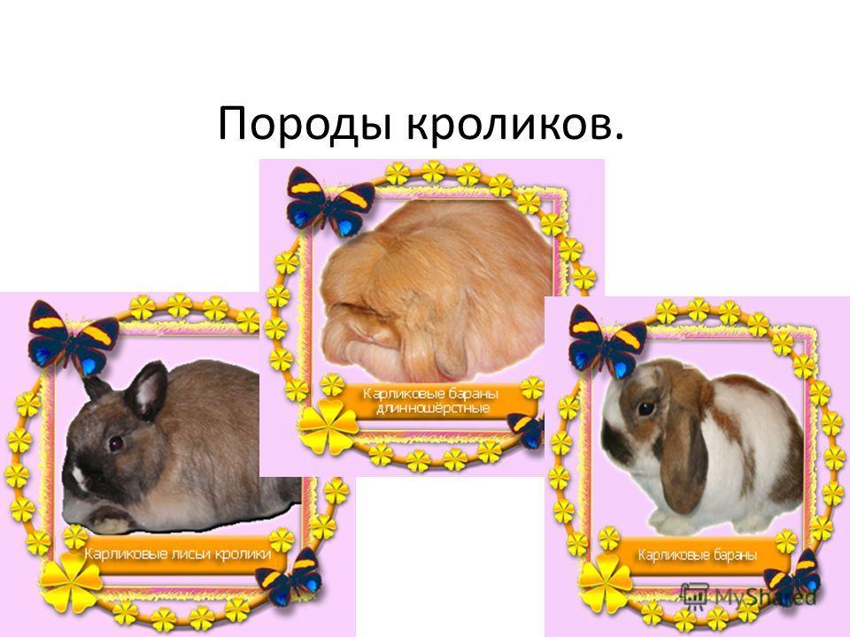 Породы кроликов.