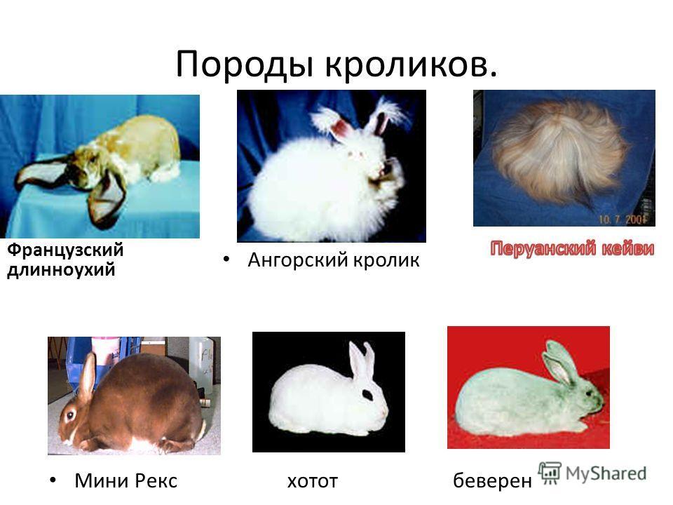 Французский длинноухий Ангорский кролик Мини Рекс хотот беверен