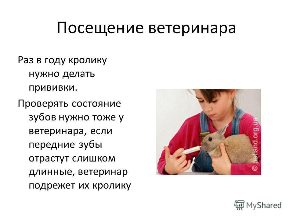 Посещение ветеринара Раз в году кролику нужно делать прививки. Проверять состояние зубов нужно тоже у ветеринара, если передние зубы отрастут слишком длинные, ветеринар подрежет их кролику