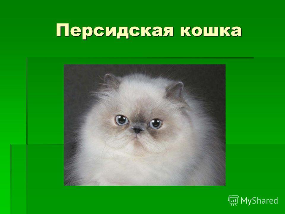 Персидская кошка Персидская кошка