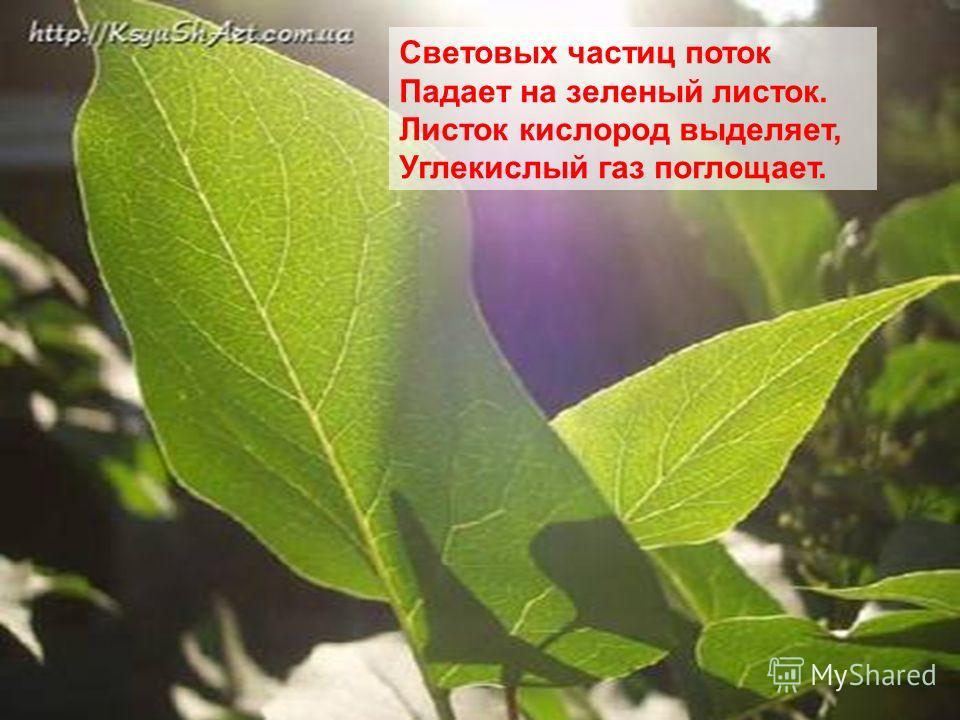 Световых частиц поток Падает на зеленый листок. Листок кислород выделяет, Углекислый газ поглощает.