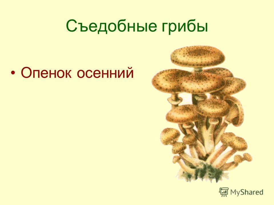 Съедобные грибы Опенок осенний