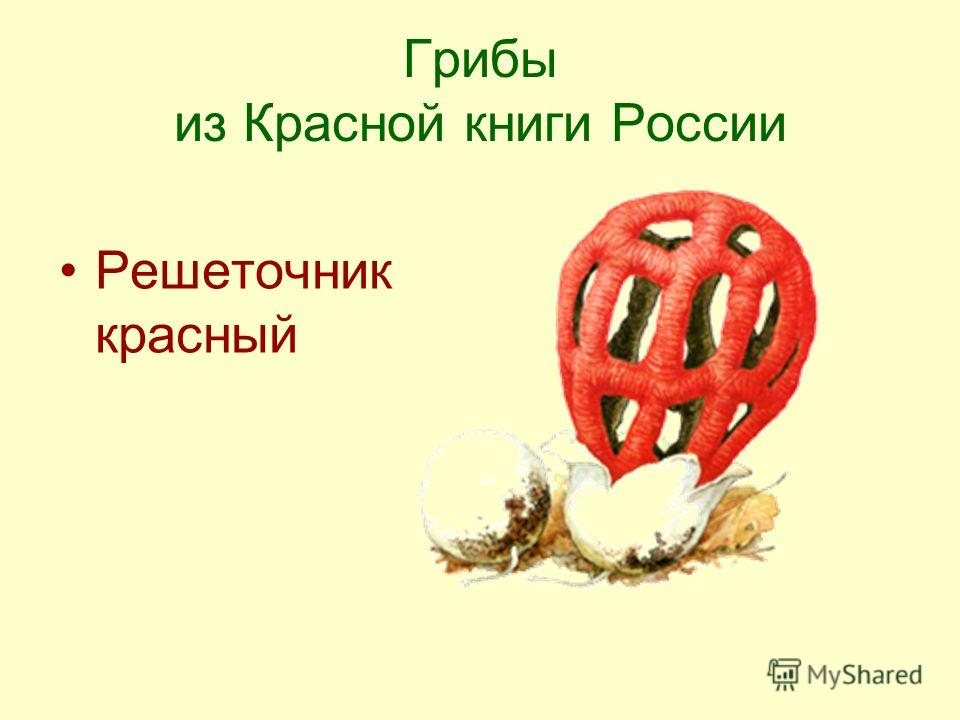 Грибы из Красной книги России Решеточник красный