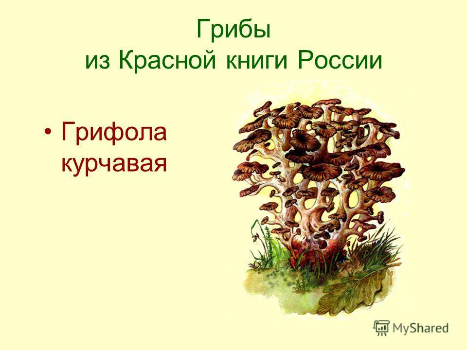 Грибы из Красной книги России Грифола курчавая
