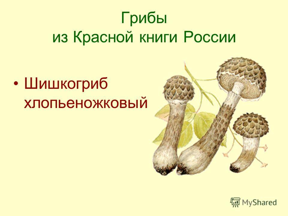 Грибы из Красной книги России Шишкогриб хлопьеножковый