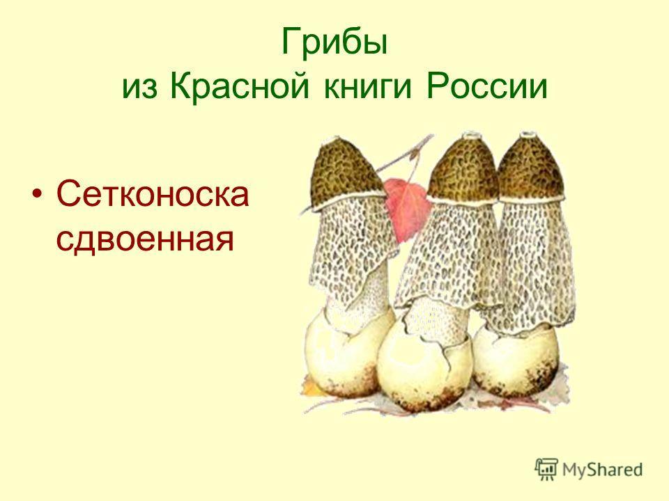 Грибы из Красной книги России Сетконоска сдвоенная