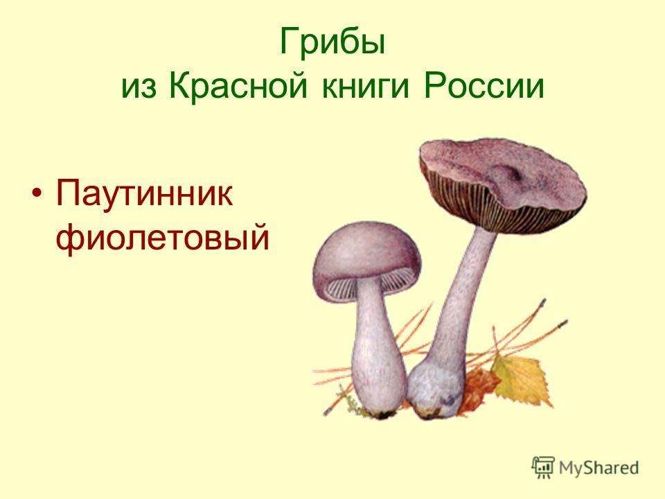 Грибы из Красной книги России Паутинник фиолетовый