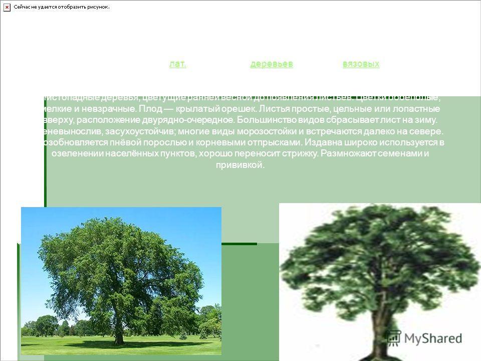 Вяз, или ильм (лат. Ulmus) род деревьев семейства вязовых.лат.деревьеввязовых Род включает около 20 видов, из которых 15 дико растут в СНГ. Деревья многих видов достигают в высоту 30-40 м (чаще 10-20 м), продолжительность жизни 200400 лет и более. Ли