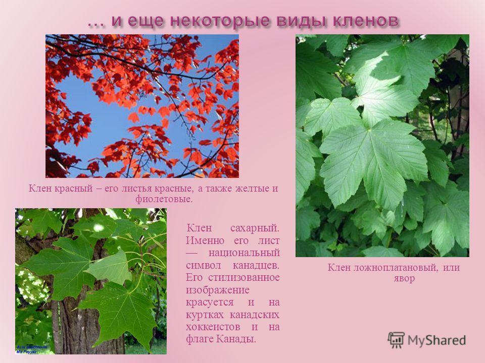 Клен красный – его листья красные, а также желтые и фиолетовые. Клен сахарный. Именно его лист национальный символ канадцев. Его стилизованное изображение красуется и на куртках канадских хоккеистов и на флаге Канады. Клен ложноплатановый, или явор