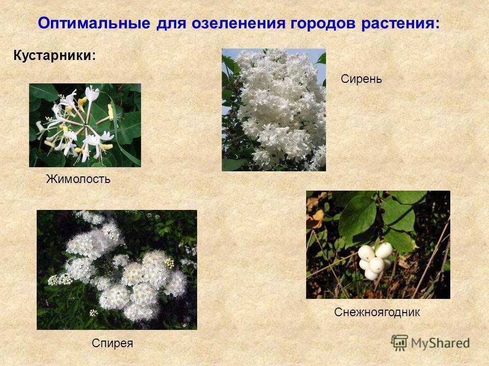 Оптимальные для озеленения городов растения: Кустарники: Жимолость Сирень Спирея Снежноягодник