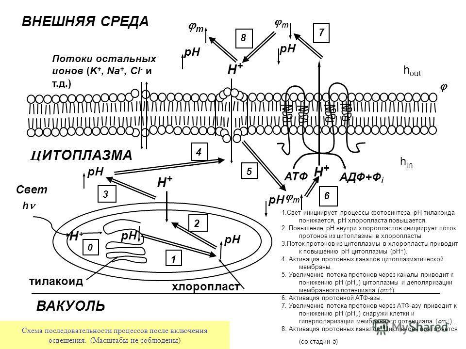 Ц ИТОПЛАЗМА h ATФ AДФ+Ф i H+H+ H+H+ H+H+ H+H+ pH тилакоид ВАКУОЛЬ хлоропласт m pH m 1 2 3 4 5 6 7 8 Свет ВНЕШНЯЯ СРЕДА pH m 0 Потоки остальных ионов (K +, Na +, Cl - и т.д.) Схема последовательности процессов после включения освещения. (Масштабы не с