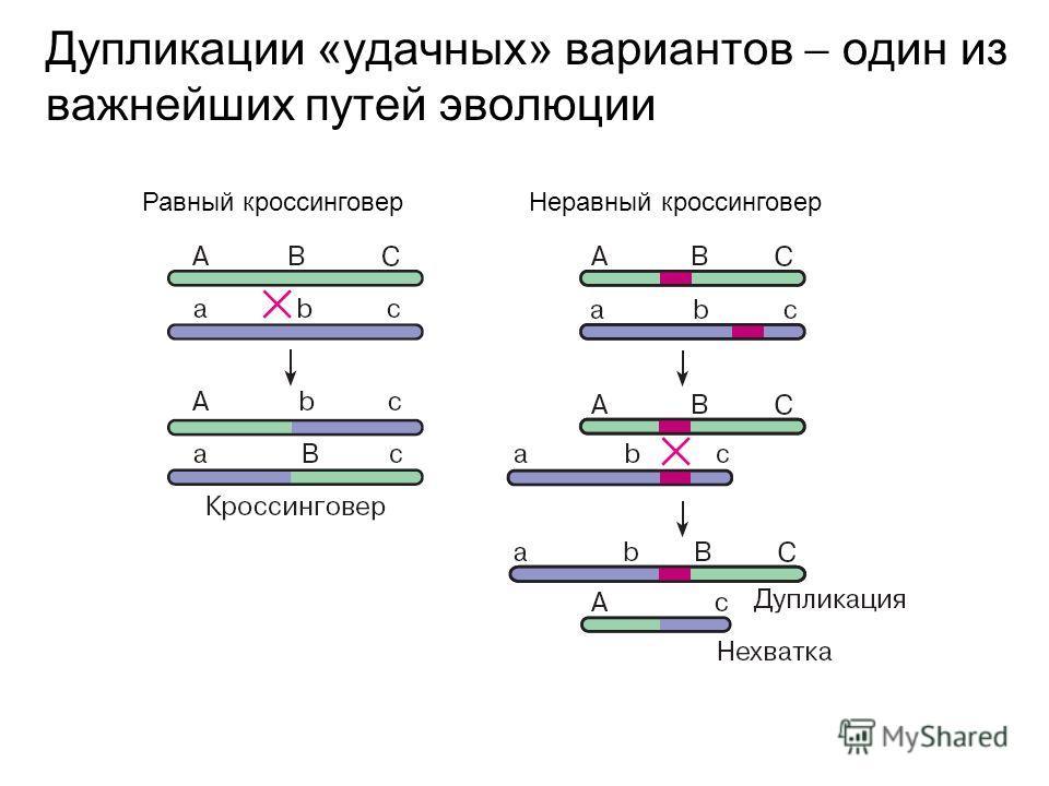 Дупликации «удачных» вариантов один из важнейших путей эволюции Равный кроссинговер Неравный кроссинговер