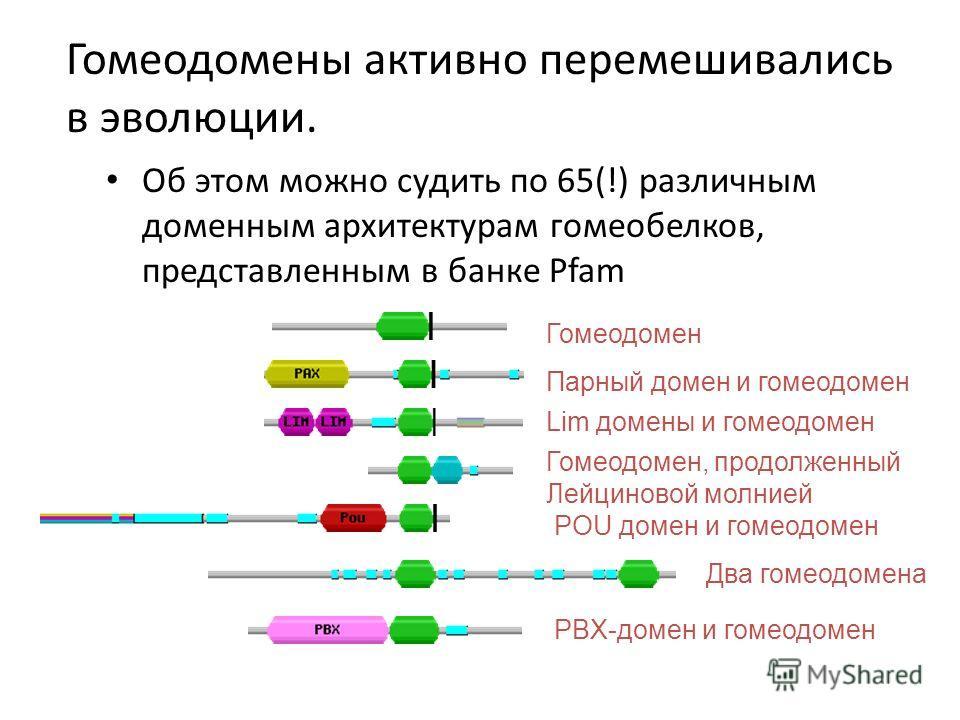 Гомеодомены активно перемешивались в эволюции. Об этом можно судить по 65(!) различным доменным архитектурам гомеобелков, представленным в банке Pfam Гомеодомен Парный домен и гомеодомен Lim домены и гомеодомен Гомеодомен, продолженный Лейциновой мол
