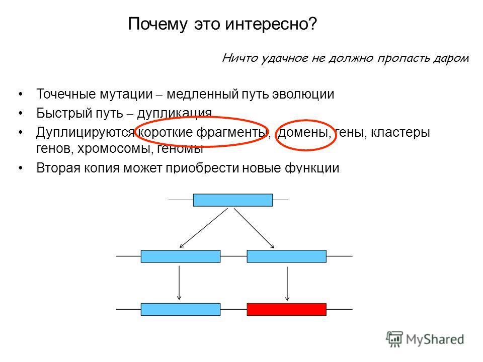 Ничто удачное не должно пропасть даром Точечные мутации медленный путь эволюции Быстрый путь дупликация Дуплицируются короткие фрагменты, домены, гены, кластеры генов, хромосомы, геномы Вторая копия может приобрести новые функции Почему это интересно