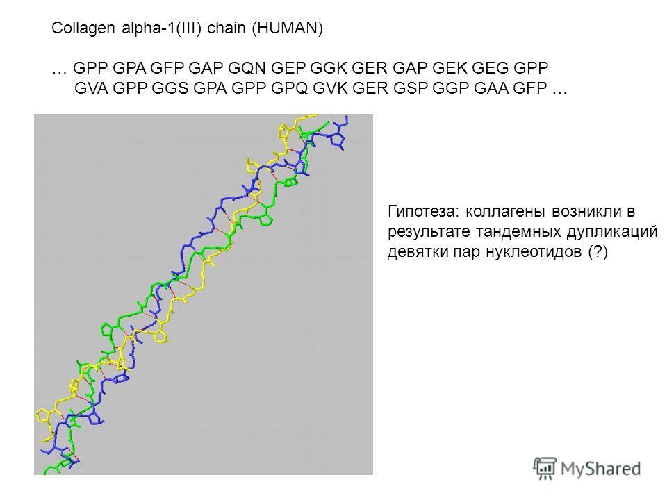 Collagen alpha-1(III) chain (HUMAN) … GPP GPA GFP GAP GQN GEP GGK GER GAP GEK GEG GPP GVA GPP GGS GPA GPP GPQ GVK GER GSP GGP GAA GFP … Гипотеза: коллагены возникли в результате тандемных дупликаций девятки пар нуклеотидов (?)