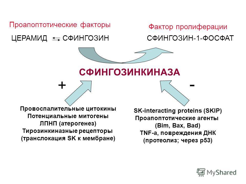 СФИНГОЗИНКИНАЗА + - СФИНГОЗИНСФИНГОЗИН-1-ФОСФАТ Проапоптотические факторы Фактор пролиферации Провоспалительные цитокины Потенциальные митогены ЛПНП (атерогенез) Тирозинкиназные рецепторы (транслокация SK к мембране) SK-interacting proteins (SKIP) Пр