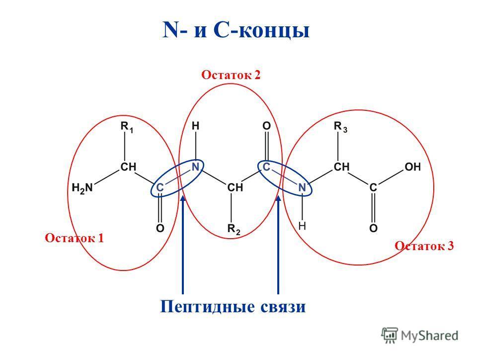 N- и C-концы Пептидные связи Остаток 1 Остаток 3 Остаток 2