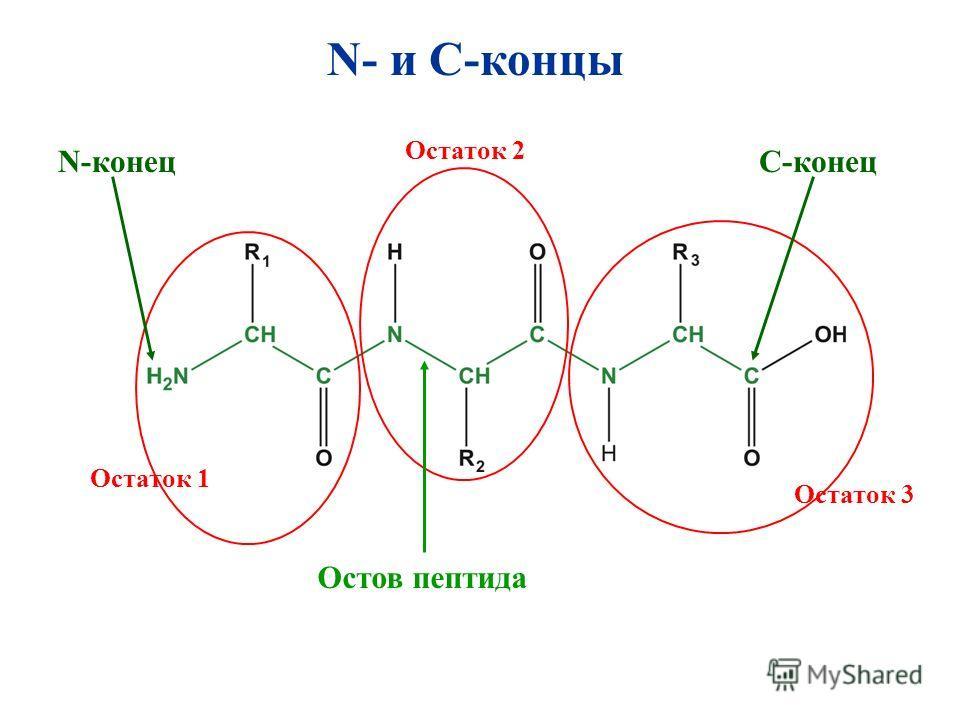 N- и C-концы Остаток 1 Остаток 2 N-конец Остаток 3 С-конец Остов пептида