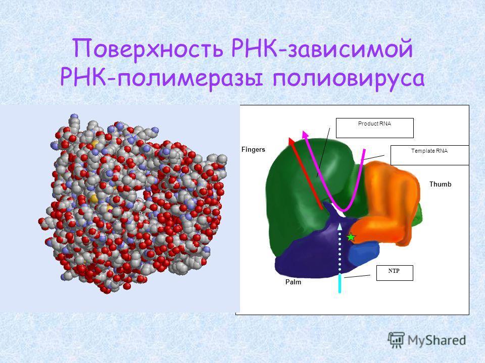 Поверхность РНК-зависимой РНК-полимеразы полиовируса Fingers Palm Thumb Template RNA Product RNA NTP