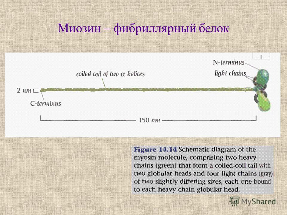 Миозин – фибриллярный белок