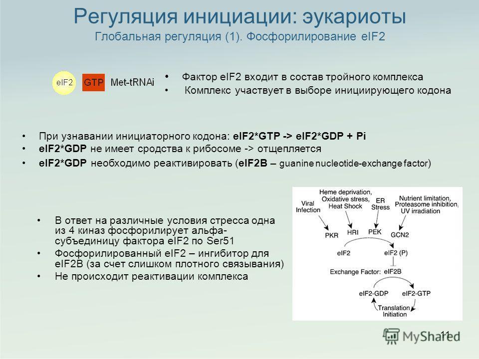 Регуляция инициации: эукариоты Глобальная регуляция (1). Фосфорилирование eIF2 В ответ на различные условия стресса одна из 4 киназ фосфорилирует альфа- субъединицу фактора eIF2 по Ser51 Фосфорилированный eIF2 – ингибитор для eIF2B (за счет слишком п