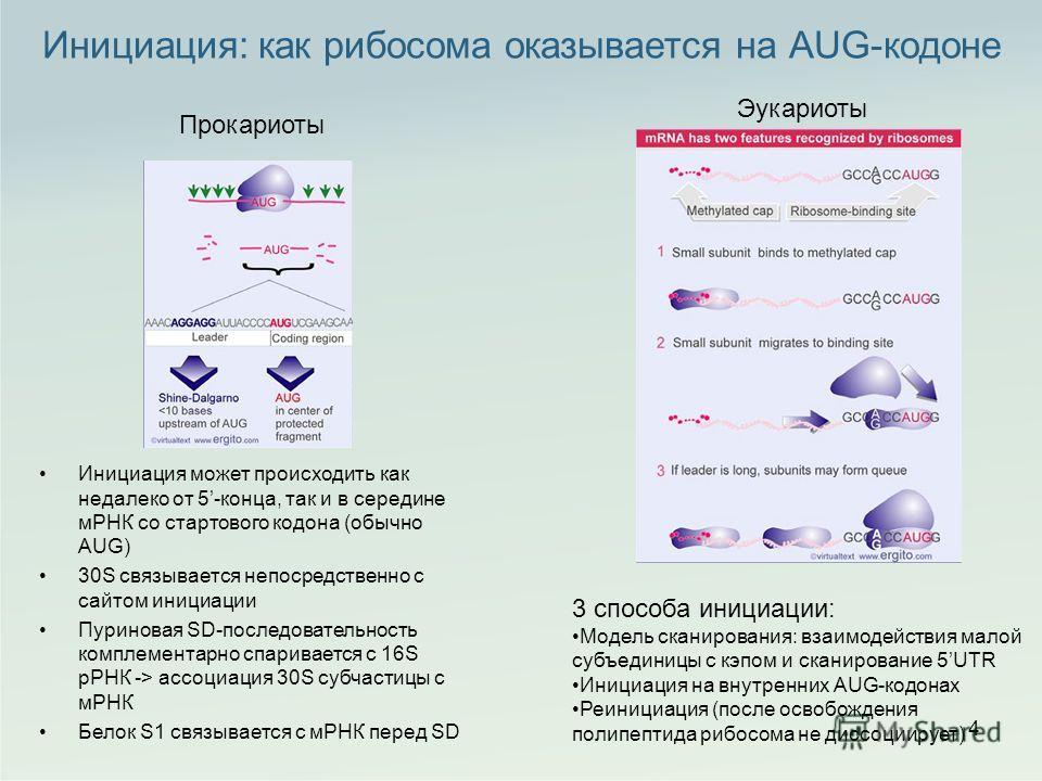 Инициация: как рибосома оказывается на AUG-кодоне 4 Инициация может происходить как недалеко от 5-конца, так и в середине мРНК со стартового кодона (обычно AUG) 30S связывается непосредственно с сайтом инициации Пуриновая SD-последовательность компле