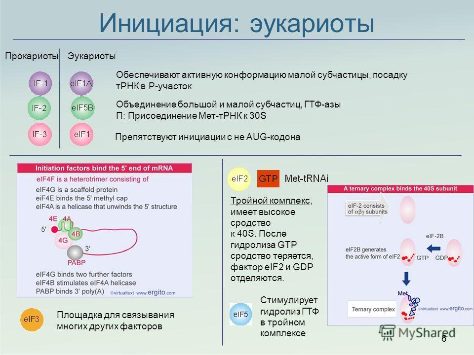 ПрокариотыЭукариоты Объединение большой и малой субчастиц, ГТФ-азы П: Присоединение Мет-тРНК к 30S Препятствуют инициации с не AUG-кодона Инициация: эукариоты 6 Площадка для связывания многих других факторов Тройной комплекс, имеет высокое сродство к