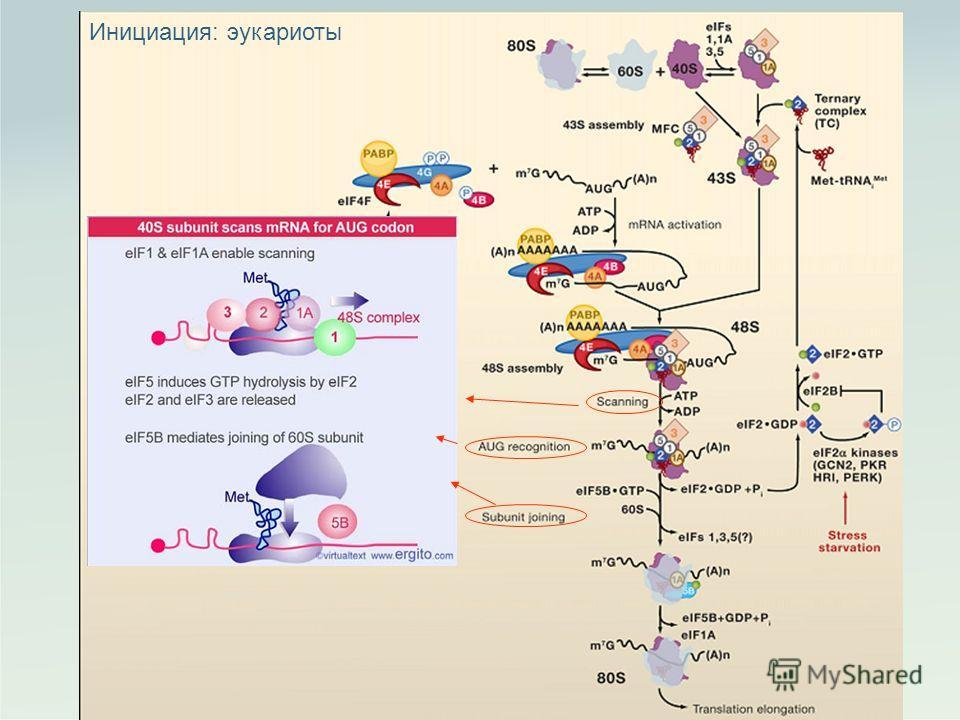 7 Инициация: эукариоты
