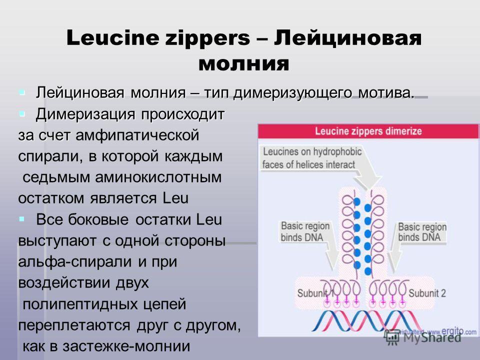 Leucine zippers – Лейциновая молния Лейциновая молния – тип димеризующего мотива. Лейциновая молния – тип димеризующего мотива. Димеризация происходит Димеризация происходит за счет за счет амфипатической cпирали, в которой каждым седьмым аминокислот