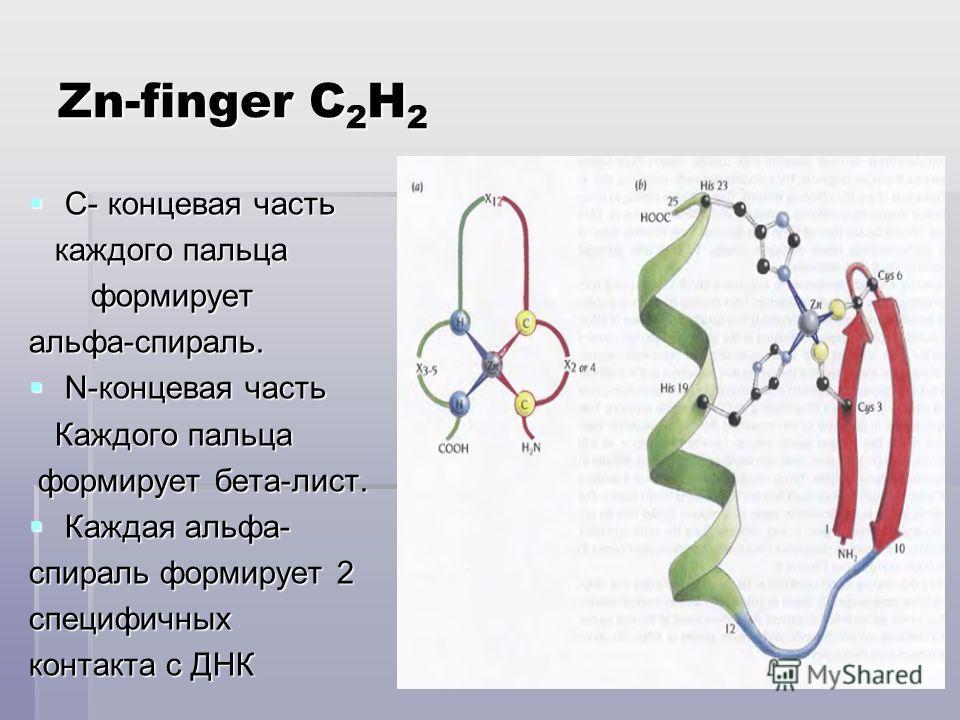 Zn-finger C 2 H 2 С- концевая часть С- концевая часть каждого пальца каждого пальца формирует формируетальфа-спираль. N-концевая часть N-концевая часть Каждого пальца Каждого пальца формирует бета-лист. формирует бета-лист. Каждая альфа- Каждая альфа